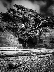 Tree of Life, Infrared style (Paul T. Marsh/PositivePaul) Tags: paulmarshphotography paultmarsh leicad3 lightroom5 kalaloch 25mmf14 blackwhite wwwpaulmphotographycom beach leica tree olympicpeninsula monochrome treeoflife rubybeach pacificnorthwest leicadigilux3 spring2017 abstract