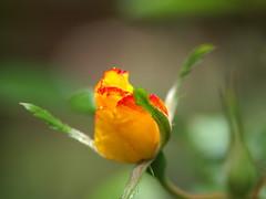 Day-116  Flutterbye Rosebud (Kazooze) Tags: rosebud flower rose flutterbye macro bokeh nature garden outdoor day116