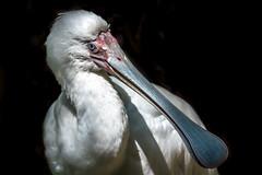 African Spoonbill Close-Up (helenehoffman) Tags: beak africanspoonbill aves bird sandiegozoo scippsaviary conservationstatusleastconcern wadingbird plataleaalba feathers white animal