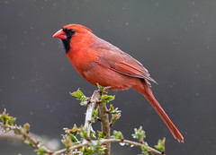 Northern Cardinal (tspine) Tags: northerncardinal cardinal