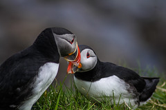 Puffins (sgl0jd) Tags: scotland highlands islands hebrides mull bunessan iona tobermory ross ardmeanach staffa puffins fingal
