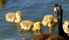 We're Helping Mama Look For Food (Kaptured by Kala) Tags: brantacanadensis canadagoose goslings geese goose babies babycanadageese richlandcommunitycollege garlandtexas spring downy fuzzy family canadagoosefamily swimming cute foraging feeding