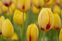 Beauty Still (Synapped) Tags: tulip yellow woodburn oregon wooden shoe stripe rain raindrop drop water