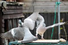 21 April 2017 (38) (AJ Yakstrangler) Tags: yakstrangler pigeon pigeons