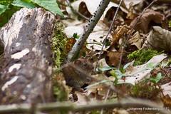 Mäusekino (grafenhans) Tags: sony alpha 68 a68 ilce maus wildtier haselmaus grafenwald natur tamron 5663200400