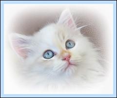 'Dolly' (Mary Faith.) Tags: kitten pet cat white portrait soft blue eyes animal play macro