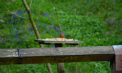 Common Chaffinch (Laineyb93) Tags: wildlife chaffinch feeding seeds birdtable bluebells greenery nikon nikond7000 woodland visitlancashire springwood whalley
