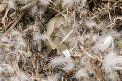 Mute swan (Cygnus olor) egg in nest (Ian Redding) Tags: british cygnusolor european uk breeding brood clutch cygnet down egg exposed fauna feathers hidden innest incubation largeegg lining muteswan nature nest nesting reproduction springtime swan swans wildlife
