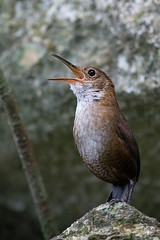 Chivirín de Nava (Jorge De Silva R) Tags: navas wren hylorchilus navai reserva de la biosfera selva el ocote chiapas aves birds