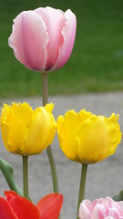 Tulips (barbaragaillewis) Tags: sony sonyhx9v spring tulips flower yellow red pink nature outdoors april 2017