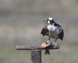 Osprey defending its fish