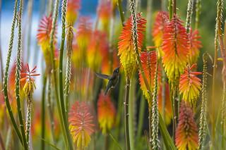 Francis the hummingbird 1/3