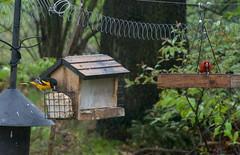 Oriole and Cardinal having snacks (danbruell) Tags: michigan birds oriole cardinal downy spring feeder