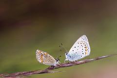 Deux amoureux sur une graminée (Doriane Boilly Photographie Nature) Tags: papillon grminée nature jarfin extérieur douceur poésie amour