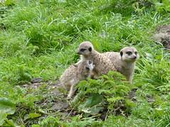 Young Meerkats. (FloraandFauna_2) Tags: meerkat thorp perrow arboretum bedale north yorkshire
