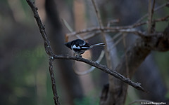 Oriental Magpie Robin shaking the water off its body. shake-water (R. Srikant) Tags: water robin rain shake magpie oriental