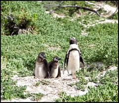 _SG_2013_04_6202_5dII_IMG_2880 (_SG_) Tags: ocean africa new trip travel sky water clouds southafrica born penguin penguins meer wasser tour view south himmel wolken telescope newborn sdafrika ausblick fernglas reise roundtrip pinguine