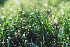 137:365 (Cosi!) Tags: macro grass real droplets bokeh aftertherain shuttersisters projectlife365 ourcollectivebeginning