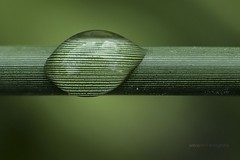 perla de agua (salvix.) Tags: