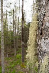 Tree Moss04 (Korona4Reel) Tags: trees lake canada tree green nature forest outside outdoors moss woods nikon forestry glen dirt bark treebark damp d800 moist nikond800 lakegeorgens koronalacasse koronalacassephotography korona4reel