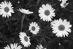 daisy floaters (Clay Percy) Tags: flowers urban bw detail blackwhite daisy stillife urbanlandscape d600