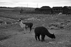 Lake Umayo Village and Llamas B&W (ollygringo) Tags: travel bw peru titicaca animals farm farming llama andes llamas puno domesticated animalhusbandry umayo