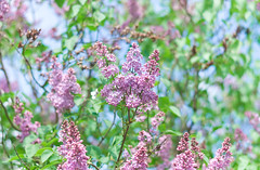 New Blog Post: Photography  | Smell The Lilacs. Feel The Spring on EvelinaLPhoto (Evelina L. Photography) Tags: pink color colour tree nature colors beautiful wonderful photography blog spring amazing bush nikon focus pretty colours photographer purple natural awesome fineart blossoms may violet naturallight blogger follow lilac bloom popular bushes radiant lithuania lilacs blogpost springtime fineartphotography flcikr inbloom newpost beuatiful lilacbushes 2013 ilovespring nikonphotography fineartphotographer themonthofmay spring2013
