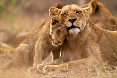 tumblr_mmb9u2vbZ41ra2796o1_500 (mrnickpage) Tags: africa travel nature animals canon southafrica cub tiere wildlife urlaub natur lion adventure safari afrika mammals lioness sdafrika krugernationalpark carnivore 2010 lwe bigfive pantheraleo lwin felidae sugetier abenteuer raubtiere canoneos7d thomasretterath canonef300lis28usm