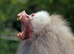 mantelbaviaan emmen IMG_0621 (j.a.kok) Tags: baboon emmen mantelbaviaan