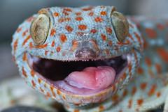 "Aha... Aha... (^_^)/ Gotcha! Say ""cheese""... ^o^ ~ gekko gecko ~ tokay gecko from Bali (bocavermelha-l.b.) Tags: smile lagartixa tuko tokaygecko gekkogecko 105mmf28dmicro tokek ヤモリ 2xtelepluspro300 mi–im shootingwithd200 геккон ตุ๊กแก awke tắckè tokkae kokkek stelliosubridens"