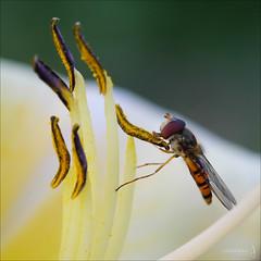 Gourmet (der LichtKlicker) Tags: plant flower macro insect fuji fujifilm blume makro insekt hoverfly taglilie schwebfliege xe1 xf60mm