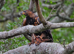 A demon from the Heart of Darkness? (Rainbirder) Tags: kenya africancrownedeagle nairobinationalpark crownedeagle stephanoaetuscoronatus rainbirder