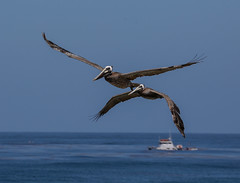 Seal-47 (Subitman12) Tags: ocean seagulls beach pelicans water swimming landscape waves sandiego lajolla pelican cliffs seal babyseals sealsanctuary sealpups
