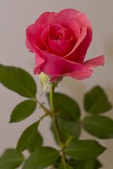 Rose (35) (arfi_arfi) Tags: flowers red roses flower color macro art colors beauty rose garden flora artistic blossom rosepetals artisticphotography flowerart flowerscolors amazingdetails