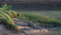 krokodil (Roelie Wilms) Tags: namibia crocodil krokodil namibi kunenerivier elementsorganizer kunenriverlodge