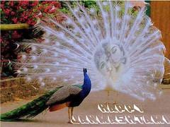 bgh987 (ravi bhalla2012) Tags: india landscape religious evening lord h dev punjab spiritual shiva hindu yatra himachal himalayas shiv jeweller bholenath bhumi lordshiva pardesh manimahesh thology manimahes bholelath hindujagranmanch