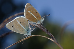 Polyommatus damon (Sinkha63) Tags: france macro male nature animal female butterfly wildlife butterflies lepidoptera papillon mating fra lycaenidae drme rhnealpes polyommatus polyommatinae diois sabl accouplement polyommatini damonblue incopula polyommatusdamon valdrme agrodiaetusd