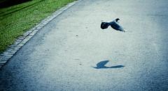 Pigeon flying past (KX Zone) Tags: shadow birds flying pigeon heartland soar bishanpark