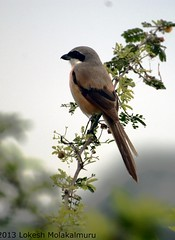 Long-Tailed Shrike (lokesh molakalmuru) Tags: flowers india birds wildlife bangalore birding shrike laniusschach longtailedshrike agaralake 70300mmvr