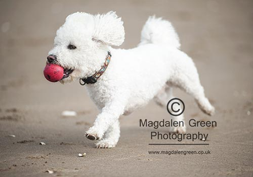 Fluffy Dog Gambolling on Beach with Red Ball  - Monifieth Scotland
