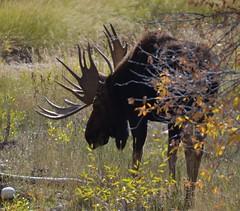 534e antlers catch the sun (jjjj56cp) Tags: animals wildlife moose antlers rack mammals jacksonhole wy inthewild malemoose mygearandme jennypansing