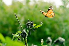 On the Flight (Gopinath Ram (Gopi)) Tags: street light nature butterfly photography photographer image country streetlife insects ram devotional tamilnadu pondicherry thiruvakkarai gopinath puducherry gopiphotography gopinathram