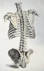 Rear view of the bones of the torso