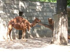 Berlin - Zoologischer Garten (Seesturm) Tags: berlin animals germany zoo tiere europa hauptstadt tiergarten zoologischergarten dromedar bundeshauptstadt 2013 seesturm