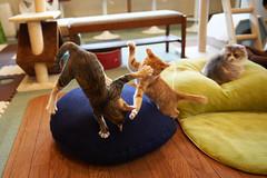 . (rampx) Tags: cat action kittens molly neko   irori miaw hiyori