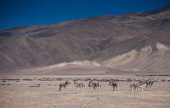 Kiang near Lake Tso Kar (Color Odyssey) Tags: trip travel india mountains nature bike landscape photography leh himalayas ladakh