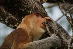Bako National Park#15 (Florian Lebrun | Photographie) Tags: vert sarawak malaysia borneo monkeys kuching proboscis nasique bakonationalpark