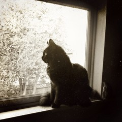 Little Sentry (liquidnight) Tags: cameraphone camera blackandwhite cats pets max cute window monochrome animals blackcat kitten watching mainecoon felines birdwatching katzen iphone kittytv iphone5 kittentv iphoneography uploaded:by=flickrmobile flickriosapp:filter=nofilter