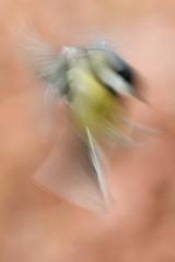 Great Tit (fredvr (Fred van Rooijen)) Tags: blur bird birds blurry tits vogels blurred greattit parusmajor vogel graphical chickadees feathered koolmees grafisch onscherp atricapillus mezen gardenbird tuinvogel gevederd