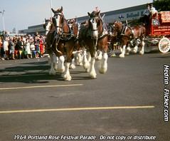 1964_Portland_Rose_Festival_39_Budweiser_Clydesdales (Hedrin) Tags: plaza dog house holland beer rose festival portland wagon parade dalmation budweiser busch eastport clydesdale anheuser newberrys